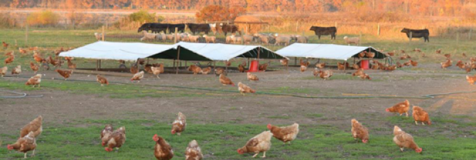 Chickens graze at Naturally Norm's farm in Lawton, MI, one of the farms from which Bronson Healthcare sources shell eggs. Photo Credit: Amy Getman, Bronson Healthcare