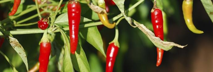 Peppers on vine